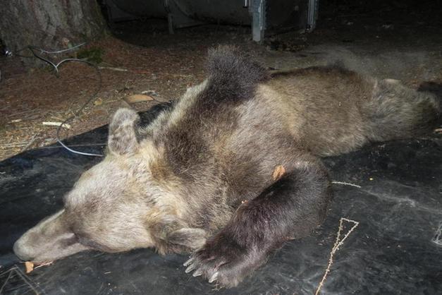 4b20a55762 Morte dell'orsa KJ2, la Lav Trentino si oppone alla richiesta di ...